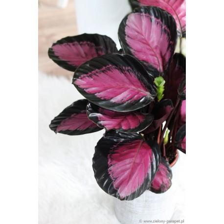 Calathea picturata 'Crimson' Kalatea obrzeżona