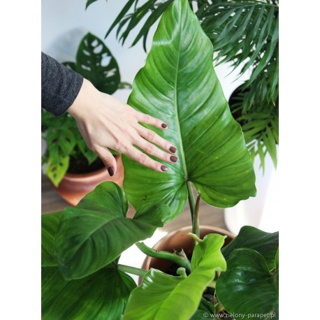 Philodendron subhastatum Filodendron