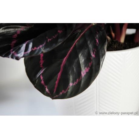 Calathea roseopicta 'Black Lipstick' Kalatea