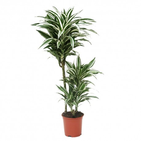 Dracaena fragrans compacta 'White Jewel'