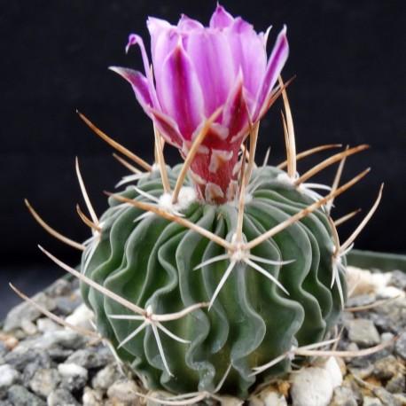 Echinofossulocactus multicostatus