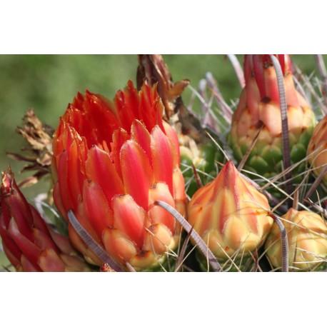 Ferocactus emoryi subsp. covillei
