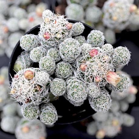 Mammillaria vetula subs. gracilis