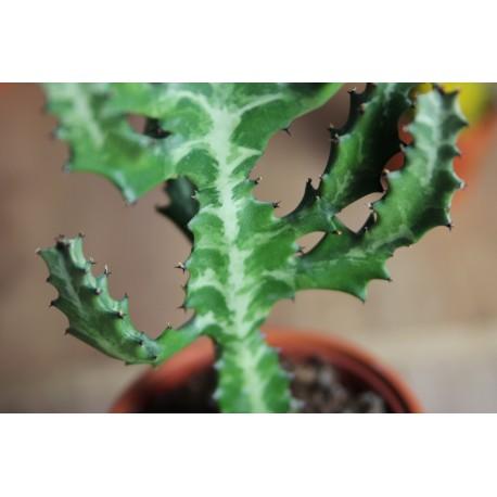 Euphorbia lactea Wilczomlecz mleczny