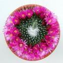 Mammillaria spinosissima 'Un Pico'