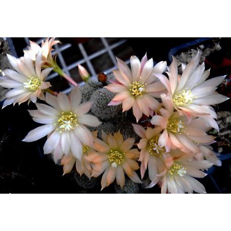 Rebutia albiflora 'Sunrise'