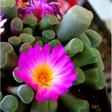 Frithia pulchra Friczia piękna