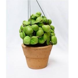 PRZECENA 50% Dischidia pectinoides var. platyphylla