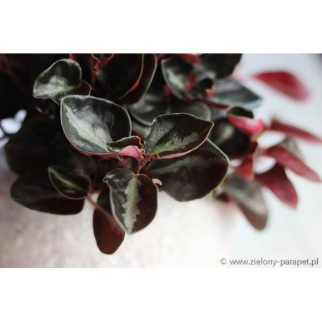 Peperomia metallica var. colombiana