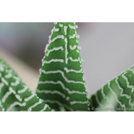 Haworthia limifolia v striata 'Zebra'