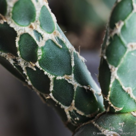 Opuntia zebrina f. reticulata 'Cobra'