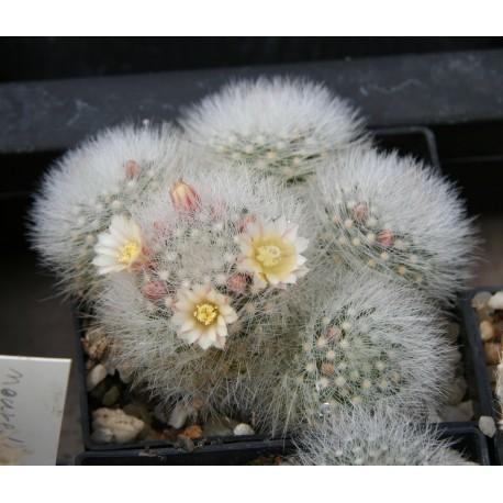 Mammillaria schwarzii