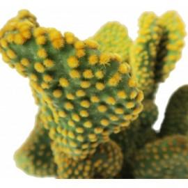 Opuntia microdasys var. pallida f. undulata -Opuncja