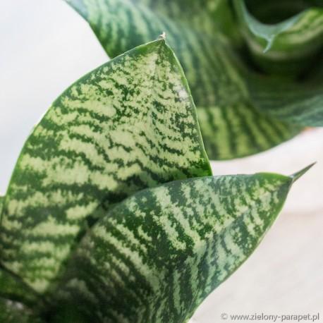 Sansewieria gwinejska 'Green Hahnii' Sansevieria trifasciata