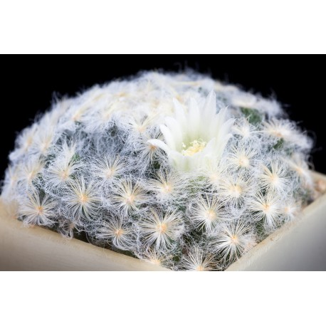 Mammilaria plumosa