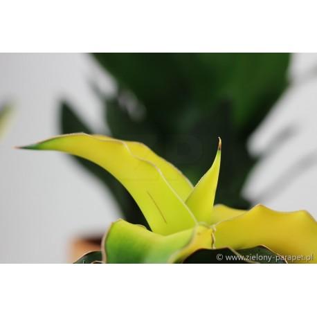 Sansevieria 'Star Canary'