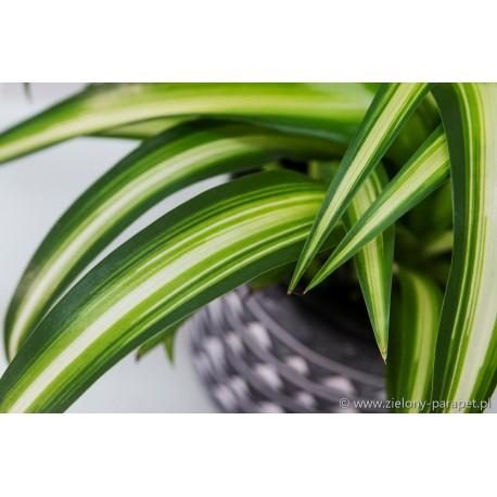 Chlorophytum 'Hawaiian Spider' Zielistka