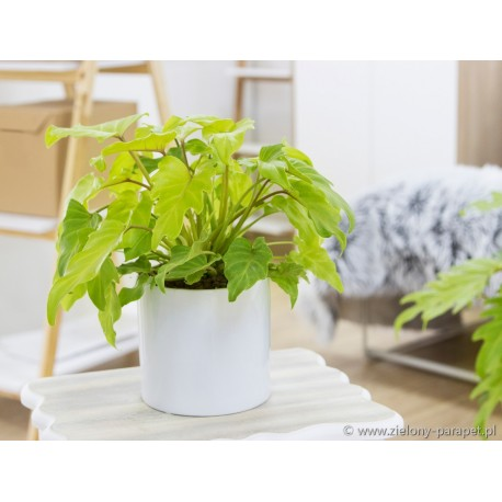 Philodendron 'Xanadu Gold' Filodendron