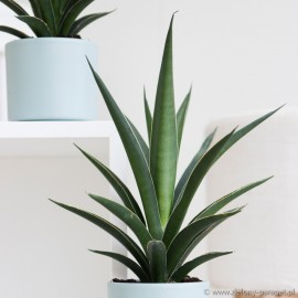 Sansevieria comet 'Amazon Green'