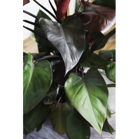 Philodendron erubescens'Royal Queen' Filodendron