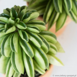 Peperomia 'Fire Sparks'