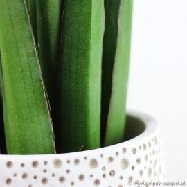 Sansevieria robusta 'Light'