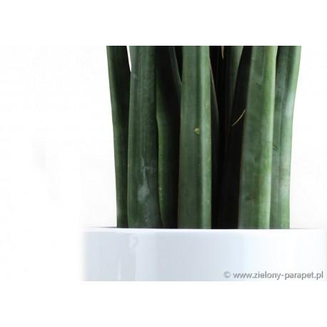 Sansevieria cylindrica 'Blue'