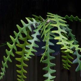 Epiphyllum anthonyanus