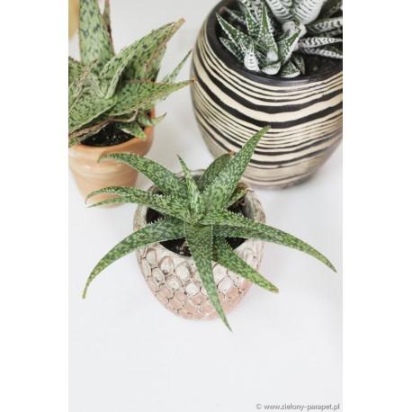 Aloe 'Rafael' Aloes