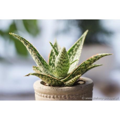 Aloe 'Asia' Aloes
