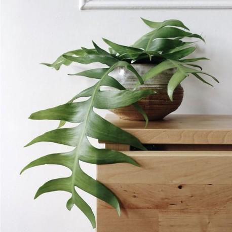 Epiphyllum chrysocardium