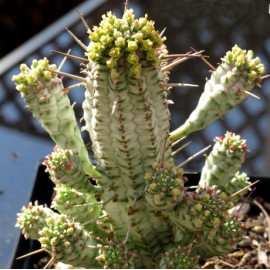 Euphorbia mammillaris 'Variegata'