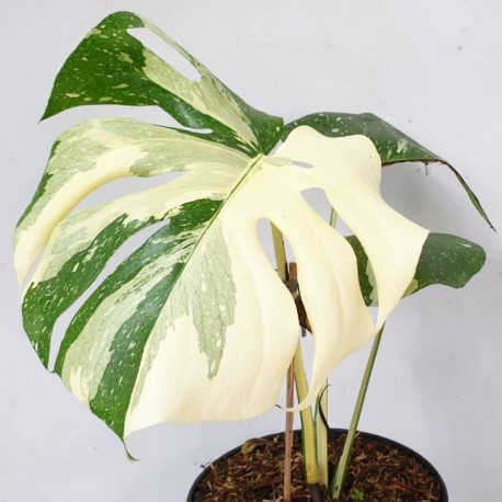 Monstera deliciosa 'Thai Constellation'
