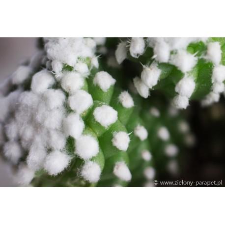 Mammillaria gracilis oruga
