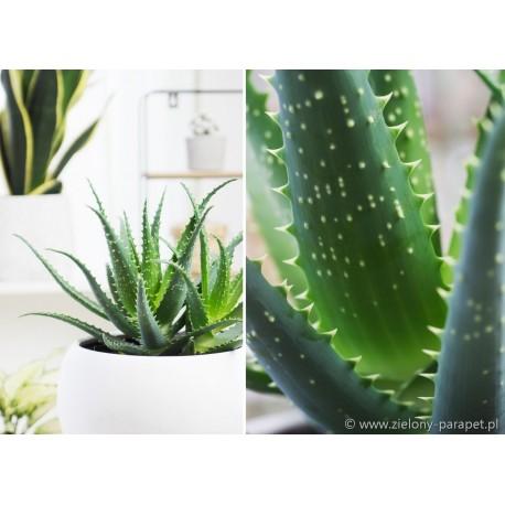Aloe arborescens -Aloes drzewiasty