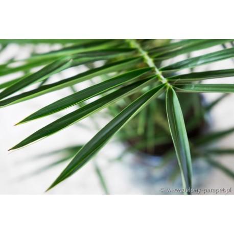 Chrysolidocarpus lutescens Złotowiec