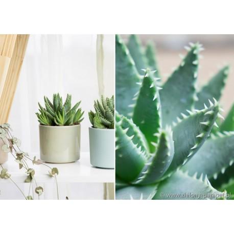 Aloe brevifolia -Aloes krótkolistny