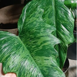 Philodendron 'Camouflage' Filodendron