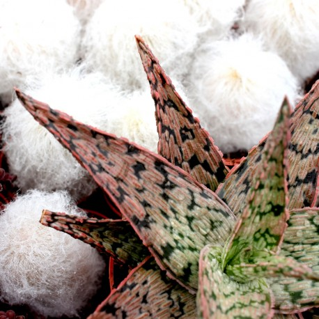 Aloe 'Pink Blush'