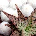 Aloe 'Pink Blush' Aloes 'Pink Blush'