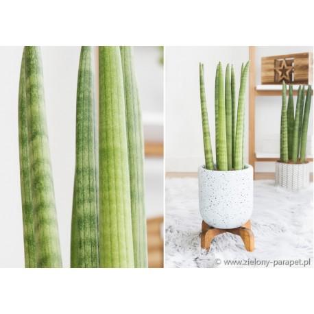 Sansevieria cylindrica 'Straight -Sansewieria