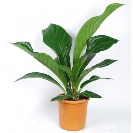 Anthurium ellipticum