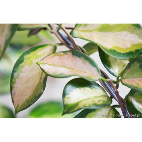Hoya australis Lisa