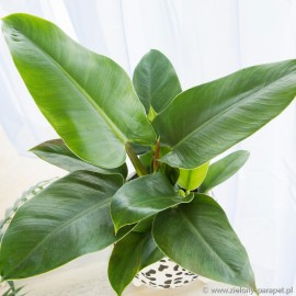 Philodendron erubescens 'Imperial Green'