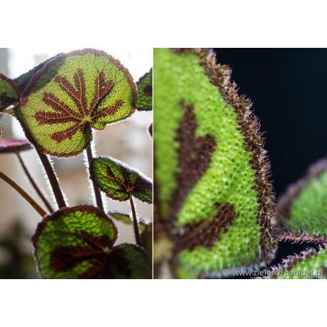 Begonia massoniana
