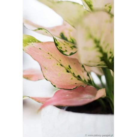 Aglaonema różowa