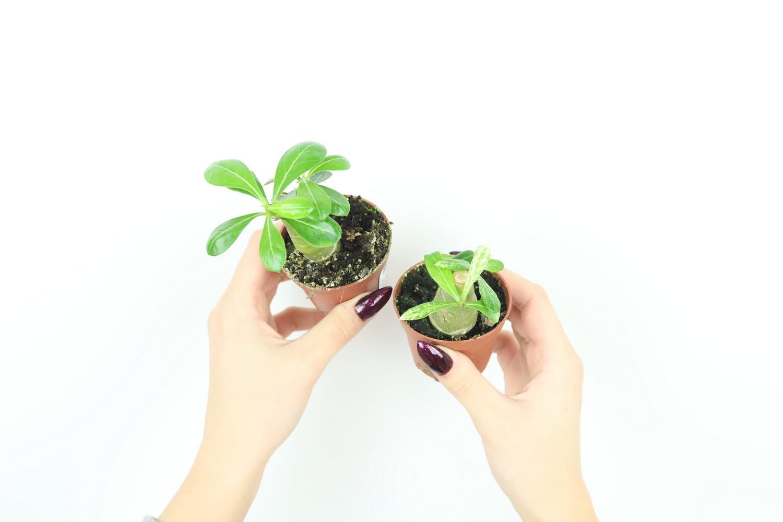 https://zielony-parapet.pl/allegro/zdjecia_sadzonek/adeniumS.jpg