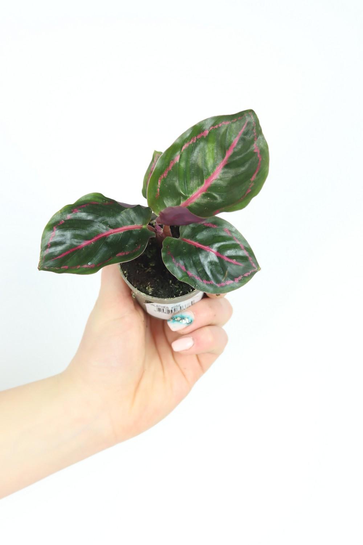 Calathea roseopicta Surprisestar