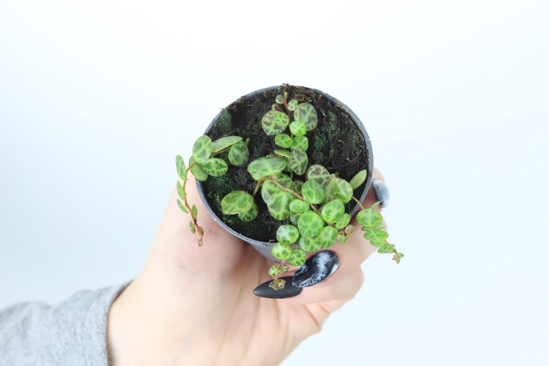 Zdjęcie sadzonki peperomii zwisającej