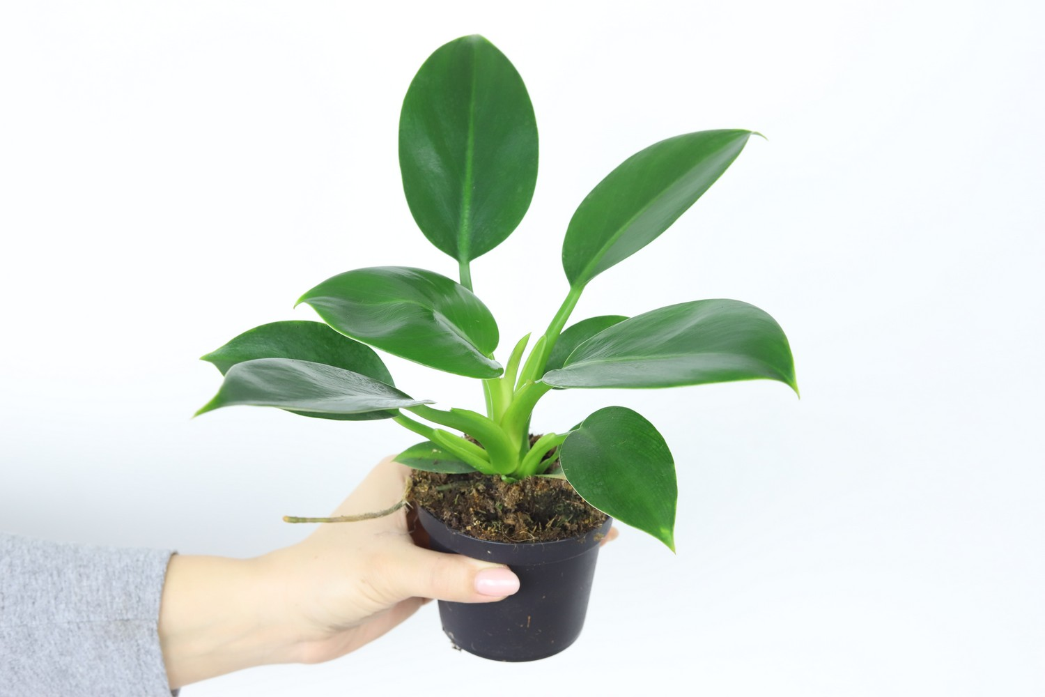 Philodendron_Green_Princess